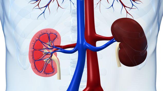 Das Bild zeigt Nieren.