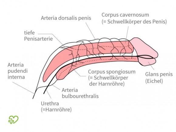 Wunden am Penis innerhalb von zwei Tagen