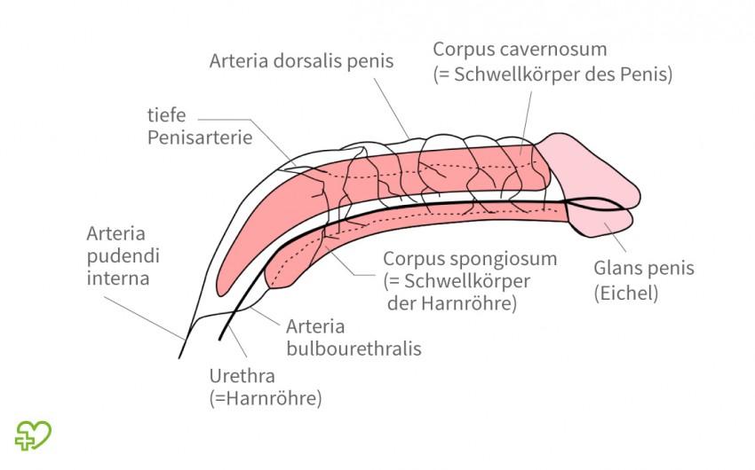 Erigierter Penis mit Schwellkörpern