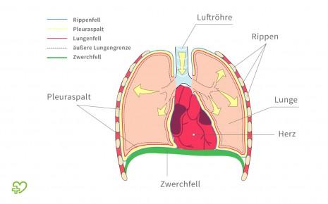 Eine grafische Darstellung des Brustkorbs.