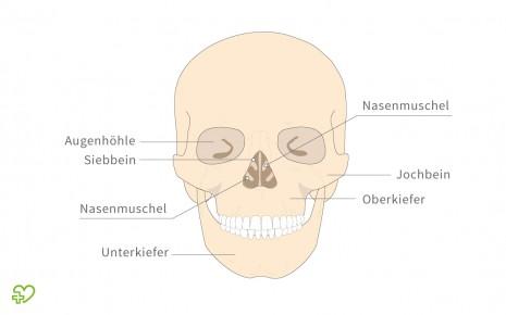 Das Skelett Schädel, Kopfverletzungen & Gehörknöchelchen ...