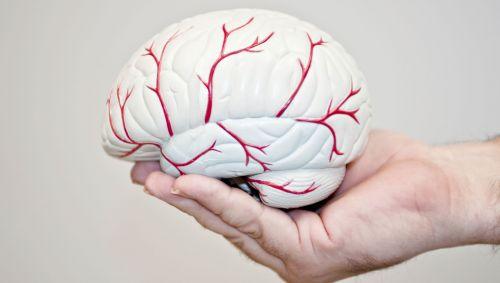 Ein nachgebildetes Gehirn liegt in einer Hand.