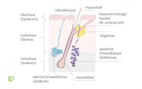 Man sieht einen schematischen Querschnitt durch die Haut mit der Darstellung der Schweißdrüsen.