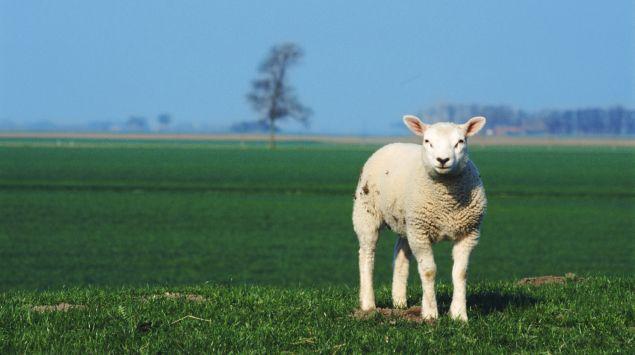 Das Bild zeigt ein Schaf.