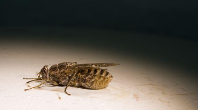 Das Bild zeigt eine Tsetse-Fliege