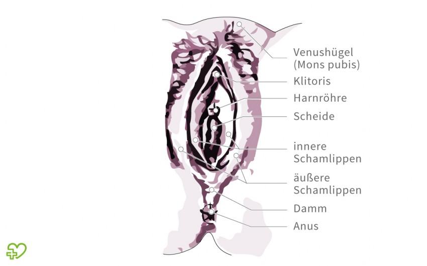 Eine schematische Darstellung einer Vagina.