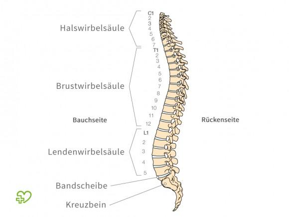 Das Bild zeigt die Anatomie der Wirbelsäule. Besonders häufig tritt ein Bandscheibenvorfall im Bereich der Lendenwirbelsäule auf – fachsprachlich Bandscheibenvorfall LWS.