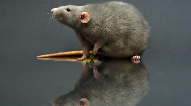 Das Bild zeigt eine Ratte.