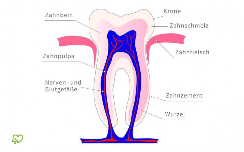 Aufbau des Zahns im Querschnitt