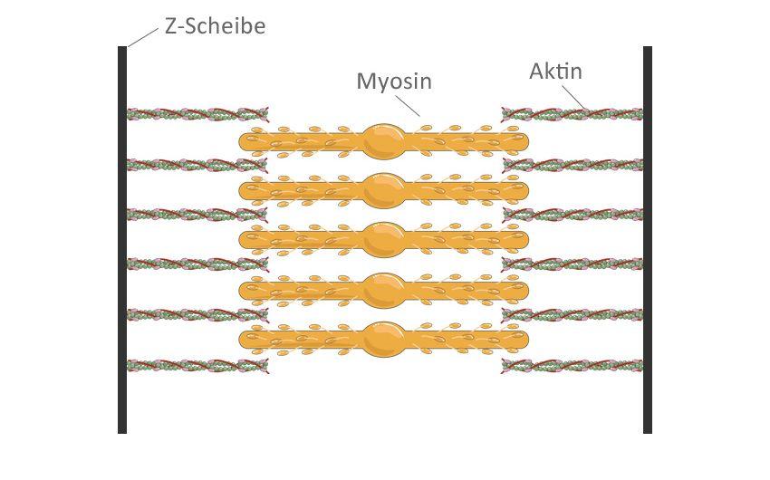 Muskeln: Bizeps, Trizeps & Co. Wie ist ein Muskel aufgebaut ...