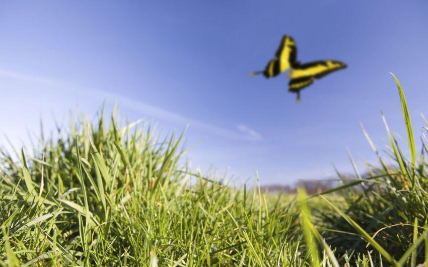 Frühlingsgefühle: Ein Schmetterling fliegt über einer Wiese.