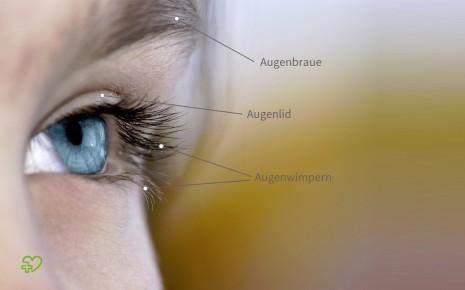 Das Bild zeigt ein Auge in Großaufnahme. Gekennzeichnet sind die Augenbraue, das Lid und die Wimpern, die zum Schutz des Auges dienen.
