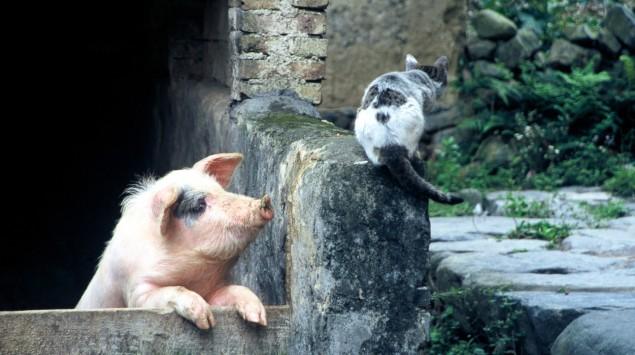 Eine Katze sitzt an einem Stall, aus dem ein Schwein herausguckt, auf einer Mauer.