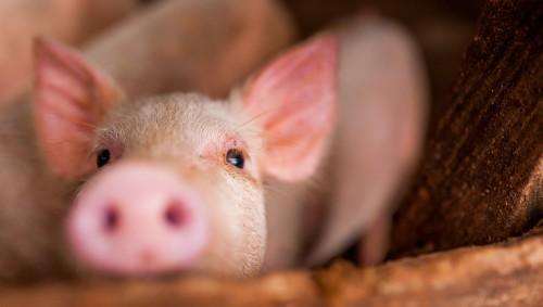 Ein kleines Schwein streckt seine Nase in Richtung Kamera.