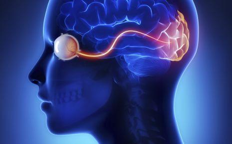 Eine grafische Darstellung des Verlaufs des Sehnervs vom Auge bis zum Gehirn.