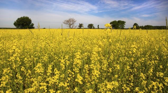 Das Bild zeigt ein Bild mit Senfpflanzen.