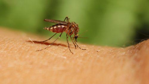 Das Bild zeigt eine Mücke auf einem Arm.