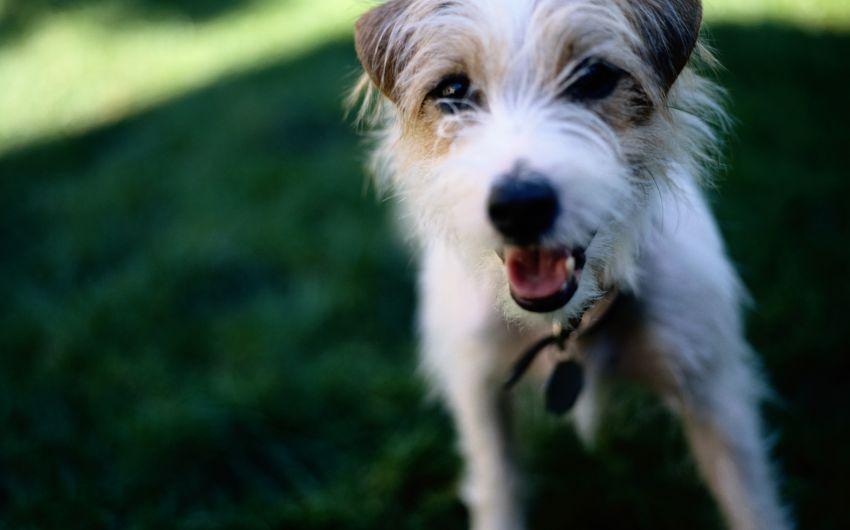 Das Bild zeigt einen Jack Russell Terrier.