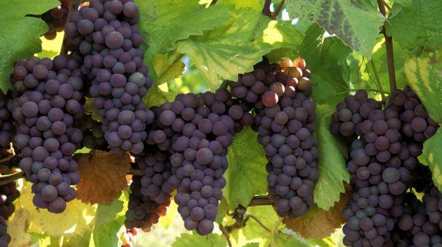 Blaue Trauben: Kann Rotwein die Gesundheit fördern?