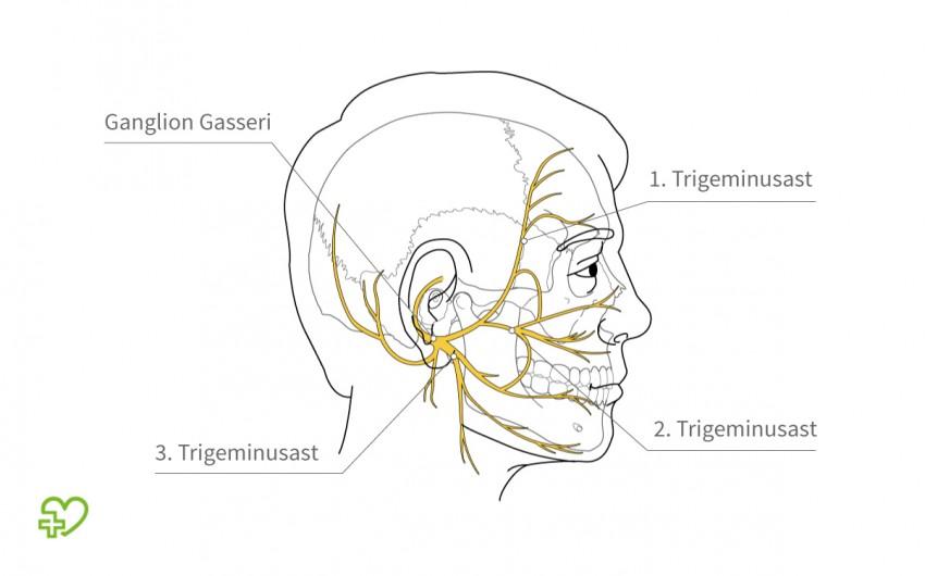 Trigeminusneuralgie: Verlauf des Trigeminusnervs im Gesicht