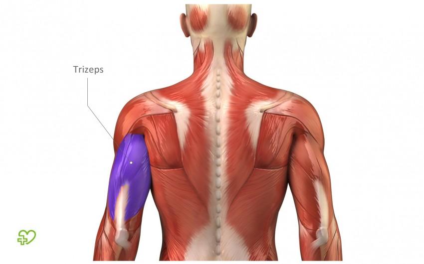 Muskeln: Bizeps, Trizeps & Co. Armmuskeln: Bizeps (Musculus biceps ...