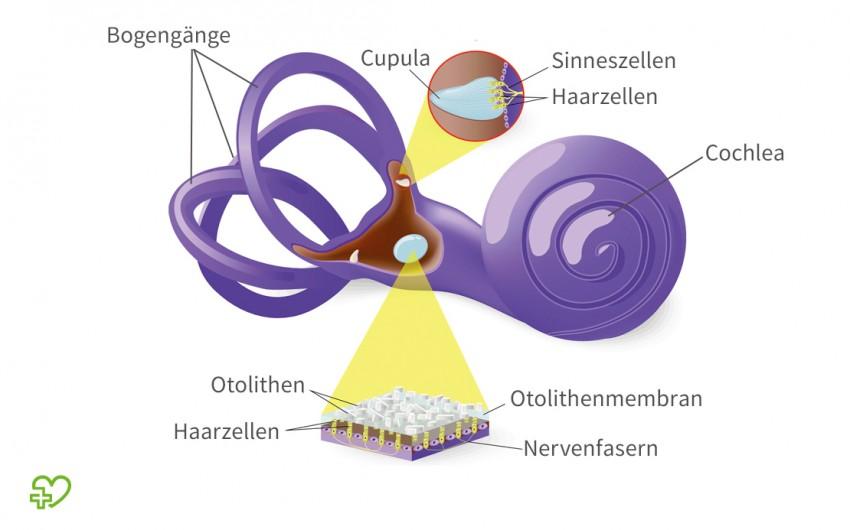Das Ohr: Grafische Darstellung des Vestibularapparats.