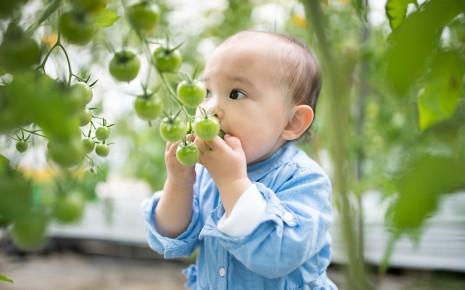 Ein Kind versucht, unreife, noch grüne Tomaten direkt vom Strauch zu essen.