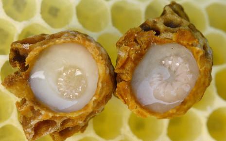 Entwicklung einer Bienenkönigin der Westlichen Honigbiene: Man sieht hier zwei Weiselzellen, die aus der Wabe entnommen und geöffnet wurden. Die Larven schwimmen als Rundmaden waagrecht an der Unterseite des Königinfuttersafts (Gelée royale). Bild: Wikimedia Commons, Waugsberg, CC BY-SA 3.0