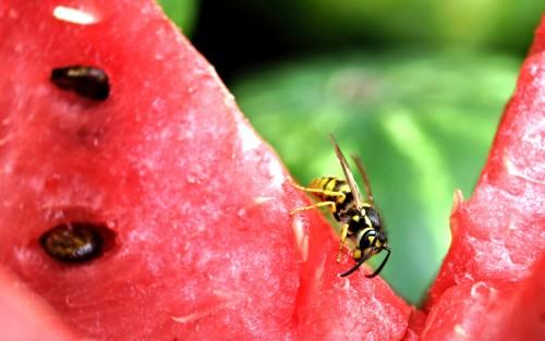 Eine Wespe auf einem Stück Melone