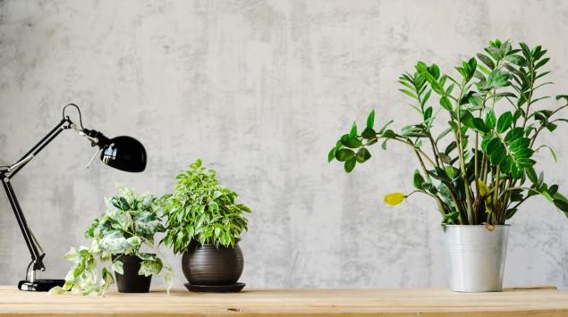 Zimmerpflanzen auf einem Schreibtisch.