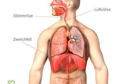 Wenn sich das Zwerchfell und die Stimmritze schlagartig zusammenziehen, entsteht ein Schluckauf.